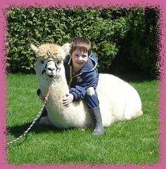 Alpaca Acres Home, Alpacas for sale, alpaca farming, alpaca socks Alpacas For Sale, Stuff To Do, Things To Do, Alpaca Socks, Unusual Homes, Zoos, Perth, Animal Kingdom, Summer Fun