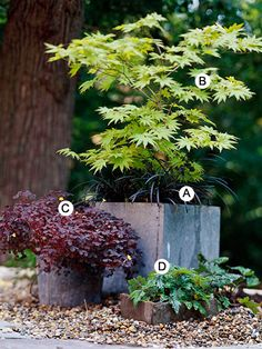 shade garden Use plant forms to create architectural interest in your landscape. Here, a fullmoon maple makes a wonderful contrast against mounding plants and its square container. A. Black mondo grass (Ophiopogon planiscapus 'Nigrescens') B. Fullmoon maple (Acer shirasawanum 'Aureum') C. Oxalis vulcanicola 'Zinfandel' D. Foamflower (Tiarella 'Pink Brushes')