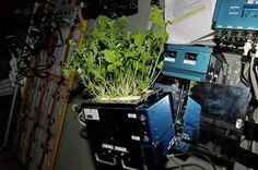 Невероятно, но факт: на МКС вырастили первый урожай капусты  http://joinfo.ua/inworld/1197801_Neveroyatno-fakt-MKS-virastili-perviy-urozhay.html