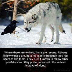 """My Pack of Wolves on Twitter: """"https://t.co/bcbwQWltIj"""""""