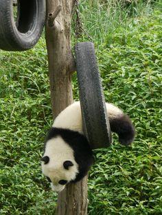 #panda #pandas #pandalovers #animals