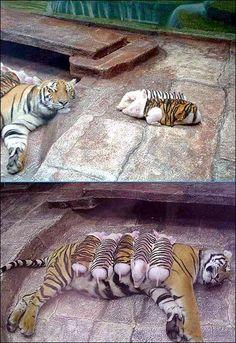 Pigs & Tiger  #animal