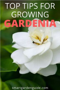 11 Awesome Gardenia Plant Care Tips To Ensure Your Gardenia Plants Stay Healthy And Beautiful. Peruse More At Gardenia Care, Gardenia Bush, Gardenias, Smart Garden, Diy Garden, Garden Plants, Garden Mulch, Garden Landscaping, Indoor Gardening Supplies