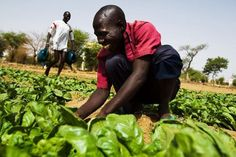 Smallholders and small family farms produce up to 80% of the food in many developing countries. Photo: FAO/Olivier Asselin