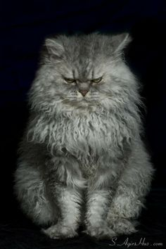 """""""Some people say man is the most dangerous animal on the planet.  Obviously, those people have never met an angry cat."""" --Lillian Johnson"""