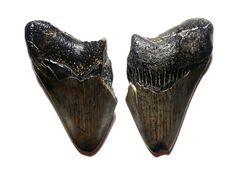 Carcharocles Megalodon, Miocene (5-15 MYA), Hawthorn Formation, North Carolina Coast, United States - 22.1g