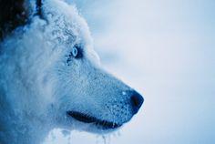 snow dog. sibes. <3