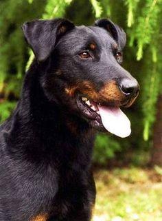 France. Berger de Beauce (Beauceron) black-tan uncropped ears