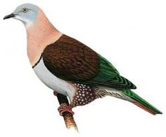 Zoe's Imperial-Pigeon (Ducula zoeae)