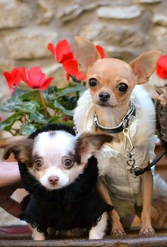 chihuahuas ready for a stroll...