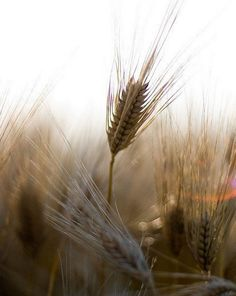 Wheat...