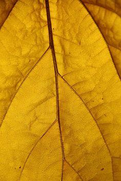 Yellow Leaf by Paul Threlfall
