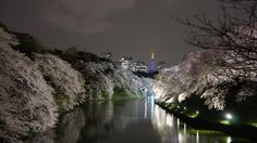 Sakura or Cherry blossoms are a month away in Tokyo. Mark your calendars for Chidorigafuchi near Kudanshita Station where you can view the Sakura illumination. Photo Story at http://experiencetokyo.net/chidorigafuchi-cherry-blossoms-and-the-beautiful-night-time-illumination/