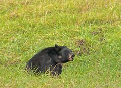 A large black bear at Cades Cove