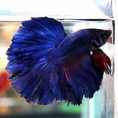 Betta-Male-Fancy-Super-Blue-Navy-Rosetail-Halfmoon