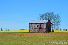 Canola fields and Vintage Barn, Portland, TN