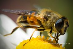 Honey bee at work by Cristian Sirbu on 500px