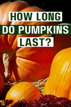 Pumpkins are classic autumn seasonal decor. They're lovely on the front porch, along the front walk, or even in a fall centerpiece. But how long do pumpkins last? Read on to find out! Types Of Pumpkins, Pink Pumpkins, Fall Pumpkins, Halloween Pumpkins, Planting Pumpkin Seeds, Pumpkin Varieties, Pumpkin Seed Recipes, Cheese Pumpkin, Apple Pear