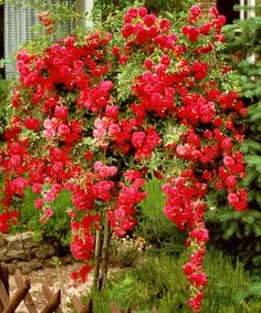 Red Cascading Rose Tree by Cottage Farms Direct on #zulily