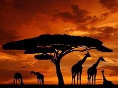 """""""Giraffe Sunrise"""" Framed Black & White Print Of Giraffe. African Animals, African Art, African Safari, Beautiful Scenery Pictures, Elephant Images, Safari Adventure, Desenho Tattoo, Black And White Prints, Traveling By Yourself"""