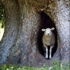 One doesn't normally expect to find a sheep in a tree.