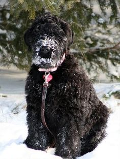 Black Russian Terrier Dog hanging out in the snow. doing dog things. Big Dogs, I Love Dogs, Cute Dogs, Dogs And Puppies, Beautiful Dogs, Animals Beautiful, Russian Dogs, Cuddly Pets, Hounds Of Love