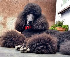 #pets #dogs #Poodle