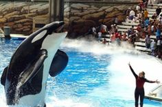 killer whales in captivity Everyone who sees this pin please watch blackfish it will change your mind about sea world