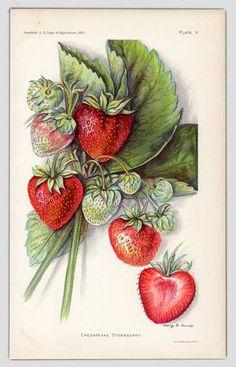 1912 d'impression Print antique fraise fraise par AestheticEsthetik, $14.50