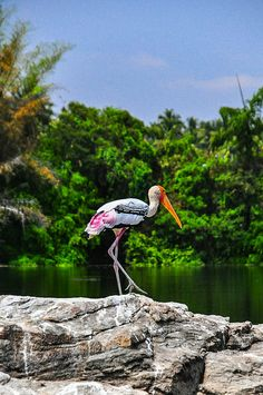 Painted stork at Ranganthittu Bird Sanctuary, Karnataka in India