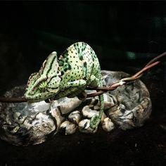 #veiled #veiledchameleon #chameleon #reptilebreeder #reptiles #perfect #transformation #sleepy #pictureperfect #cool #ohyeagirl #habitat by zk_breeders
