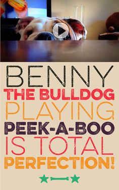 Benny the Bulldog is playing peek-a-boo and it's total perfection!