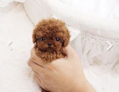 Puppy Stats Breed: Micro Teacup Poodle Gender: Male Color: Red Size: Maximum ex. Tiny Puppies, Cute Little Puppies, Cute Little Animals, Cute Dogs And Puppies, Cute Funny Animals, Baby Dogs, Doggies, Pet Dogs, Teddy Bear Puppies