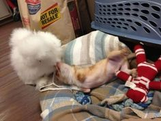 This Two-Legged Chihuahua And Fluffy Chicken Are The Cutest Best Friends In The Entire World