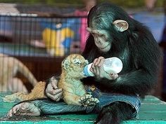 This chimp who knew his friend was hungry.