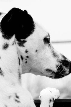Orelhas sempre alertas e o coração sempre aberto #Dalmatian