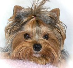 quality teacup yorkies for sale in Nashville