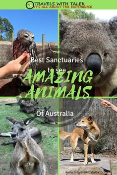 Australia's amazing full of beautiful animals at sanctuaries caring for animals by returning them after healing + keeping species alive. Moonlit Sanctuary gives demonstrations to explain how nocturnal animals behave. Bonorong Wildlife Sanctuary is known for Tasmanian devils, porcupines, hopping kangaroos,  and koalas. Seal Bay Conservation Park is known for its seals.  Travel in Australia.