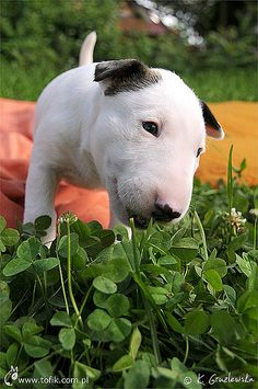 Bull Terrier. Miss mine being this small!