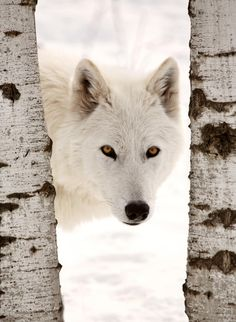 Arctic Wolf looking between two trees by Mark Duffy on 500px