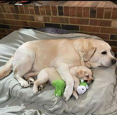 Golden Retriever, Labrador Retriever Dog, Labrador Puppies, Beautiful Dog Breeds, Beautiful Dogs, Lab Puppies, Cute Dogs And Puppies, Doggies, Perro Labrador Chocolate