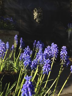 Muscari, Grape hyacinth, Agata Byrne, garden designer, landscape architect, award winning garden, best surprise garden in Dalkey 2012, best overall garden in Dalkey 2013, Art House, Dalkey, Ireland, April 2014