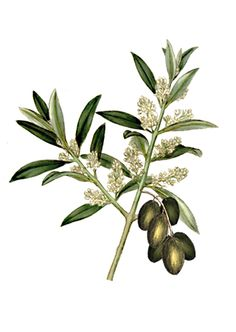 . Small Nature Tattoo, Nature Tattoos, Plant Painting, Tole Painting, Olivia Oil, Cardamom Plant, Olives, Olive Branch Tattoo, Sibylla Merian