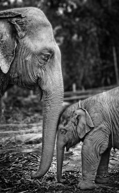 Elephants are the most charming animals. They share many traits with humans. They develop a strong sense of family and death and also feel many of the same emotions. My favourite animal :) <3