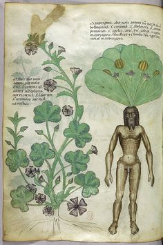 "Miniature of plants including a mandrake plant with a naked male body as the root. ""Tractatus de Herbis"" (ca.1440) herbal-mandrake by Public Domain Review, via Flickr"