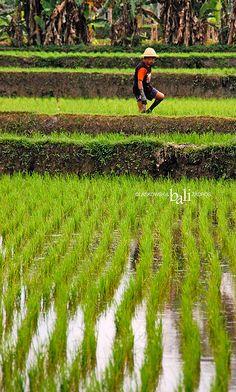 Rice field. Bali