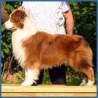 Australian Shepherds - ASCA!  <3