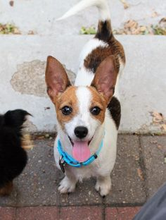 Meet Tom Petty, an adopted Parson Russell Terrier Mix Dog, from Happy Tails Rescue Inc. in Lansing, IL on Petfinder. Learn more about Tom Petty today. Parson Russell Terrier, Terrier Mix Dogs, Tom Petty, Corgi, Adoption, Toms, Meet, Animals, Foster Care Adoption