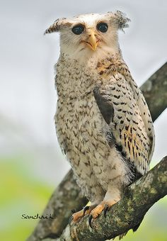 The spot-bellied eagle-owl (Bubo nipalensis), also known as the forest eagle-owl is a large bird of prey with a formidable appearance. It is a forest-inhabiting species found in the Indian Subcontinent and Southeast Asia.
