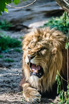 Lion is angry by Markus Sladek on 500px